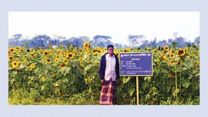 Sunflower farming gains popularity