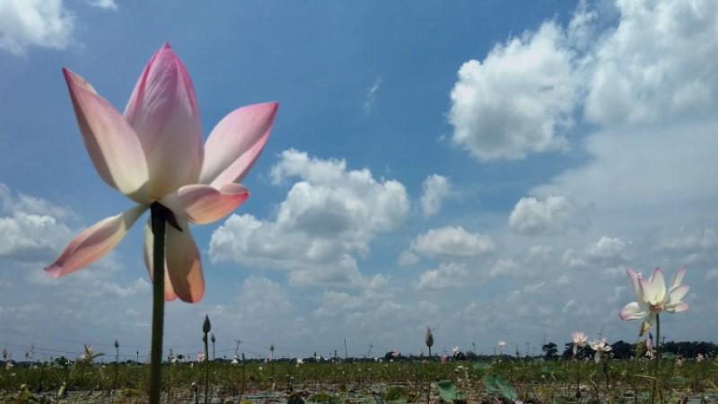 Tri-coloured lotus draws hundreds to Cumilla's Padma Beel