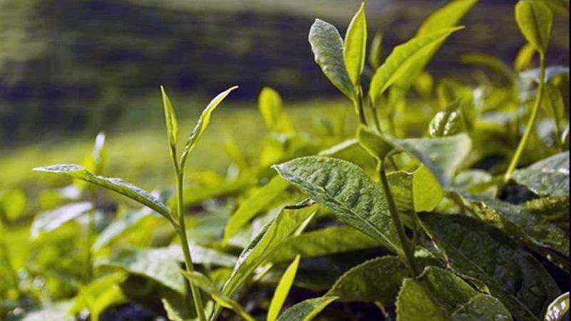 Bangladesh earns Tk 20.39 cr from tea export, Razzak tells JS