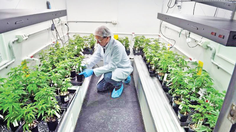Cannabis a 'probable tool' to fight COVID-19