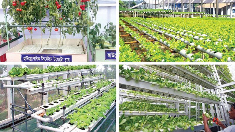 Hydroponic farming gaining success in Bangladesh