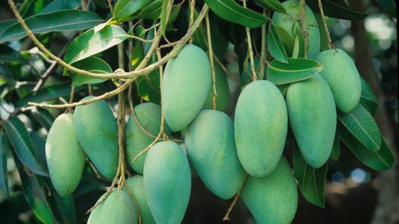 Mango starts appearing in Rajshahi markets