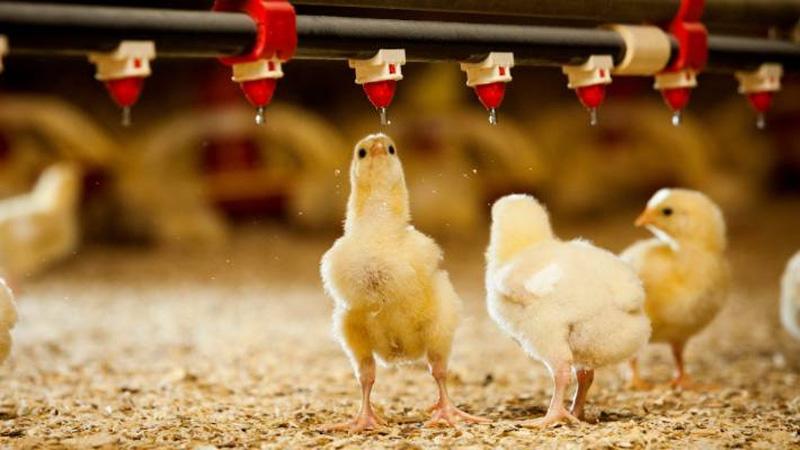 Thakurgaon poultry farmers brace for huge loss