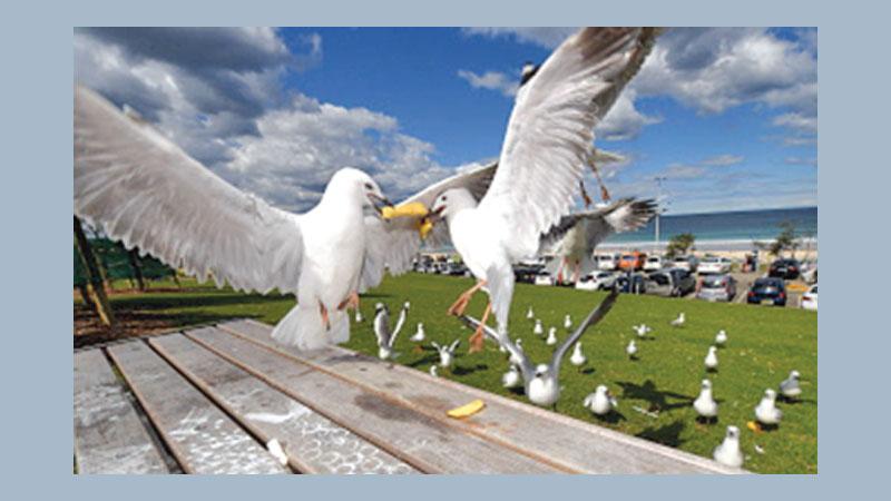 'Seagulls carry drug resistant superbugs'