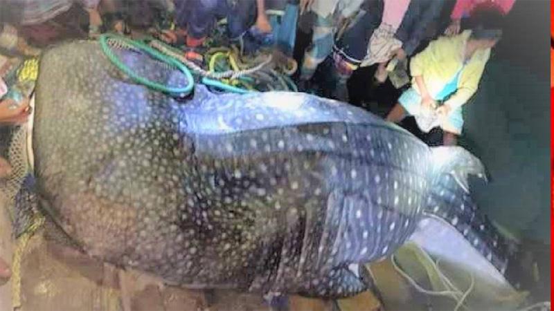 200-kg tiger shark caught in Chattogram