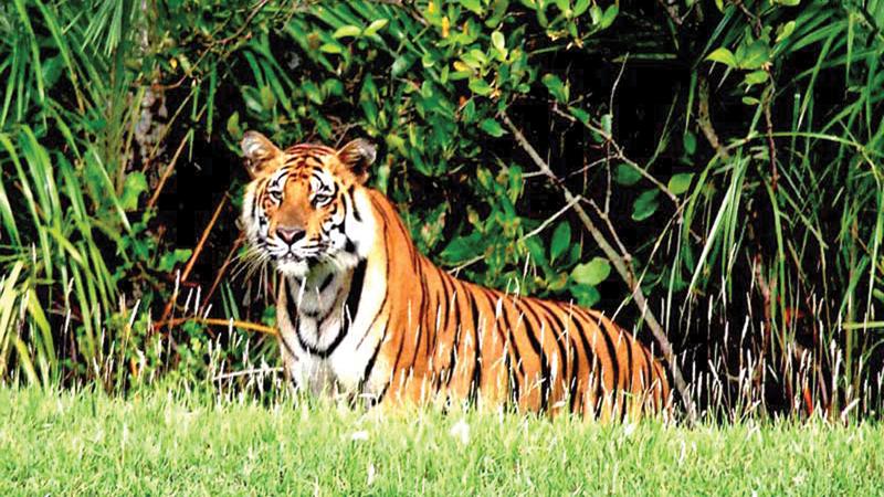 Tiger census begins in Sundarbans