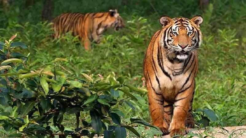 World Tiger Day Wednesday