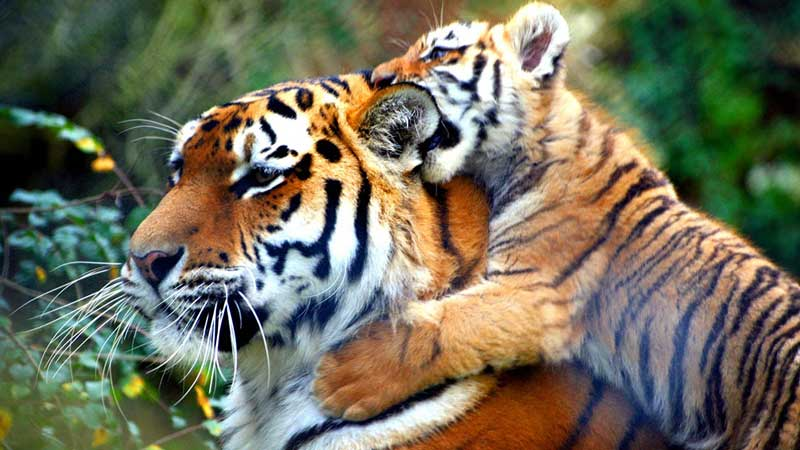 Nepal set to double tiger population under WWF global plan
