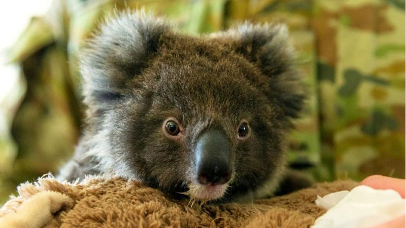 Dozens of koalas dead after logging at Australian plantation