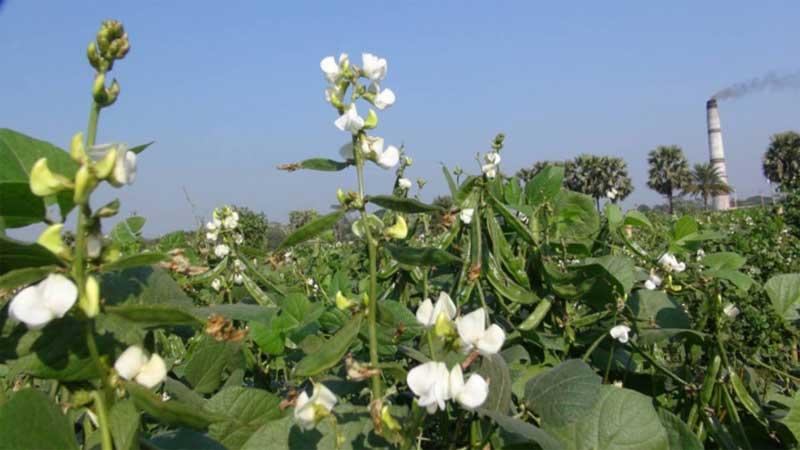 Bean cultivation gains popularity in Narsingdi