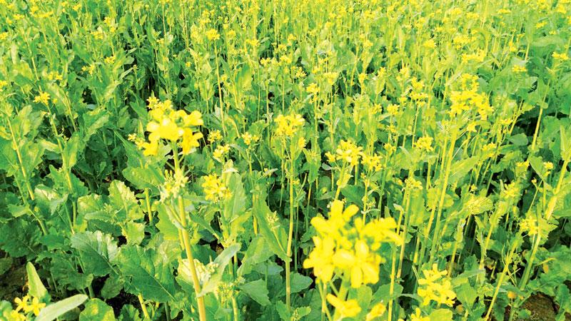 Farmers eye bumper mustard yield