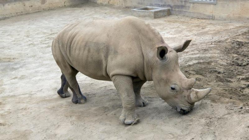 Southern white rhino calf born in San Diego Zoo