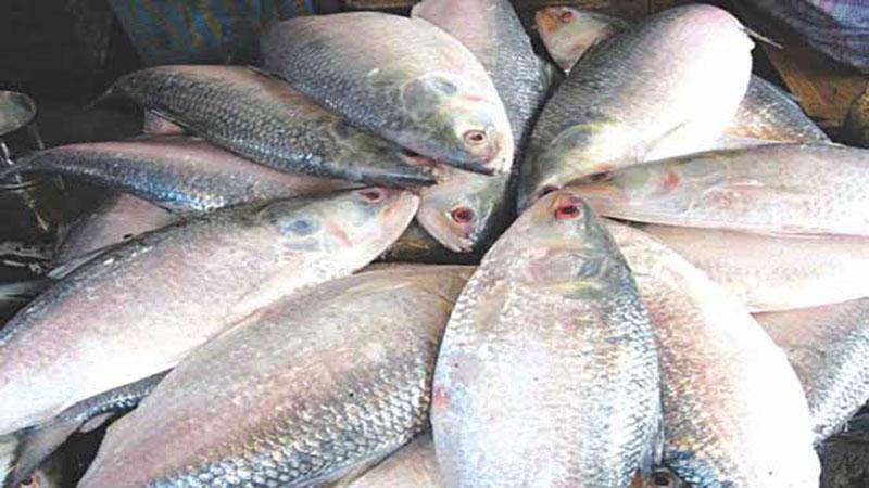 Long live hilsa for Plenty of fish cost