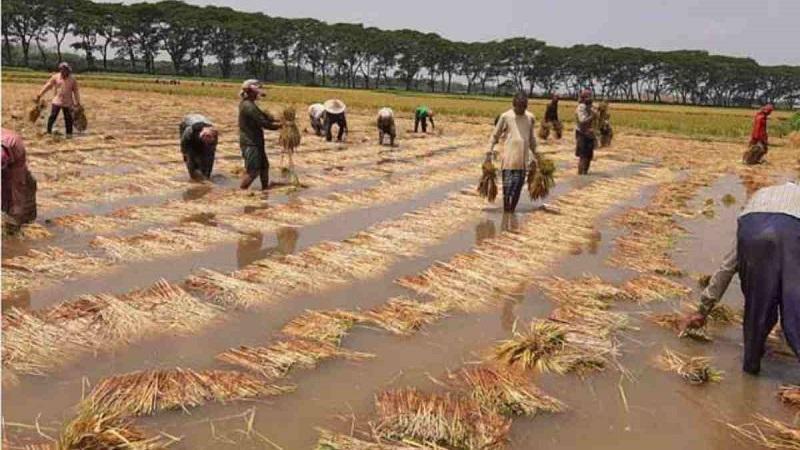 Rains washes away farmers' dream in Jashore
