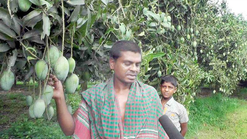 Mango grower Billal, an inspiration for many in Narail
