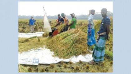 Aman harvesting begins in Bhola