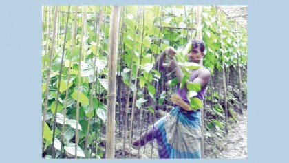 Betel leaf growers worried over falling prices