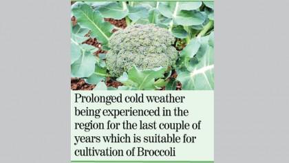 Broccoli cultivation gains popularity in Rajshahi