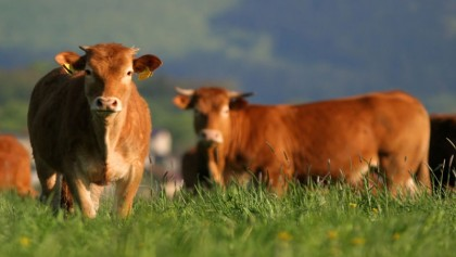 Cattle could hold the key to defeating HIV virus