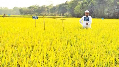 Bumper rice production
