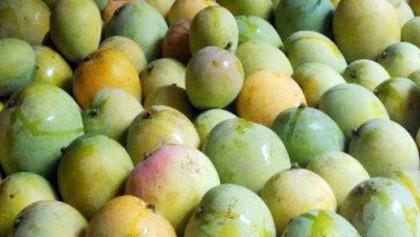 Rajshahi mangoes go to 4 European countries this season