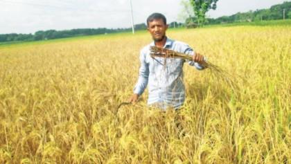 Rat infestation in T-Aman plots worries farmers