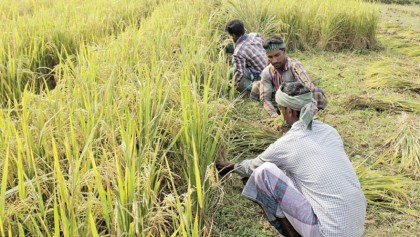 Rice prices high despite Aman harvest