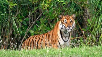 Number of tigers rises to 114 in Sundarbans