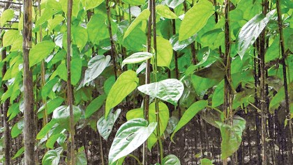 Noakhali betel leaf growers happy over fair prices