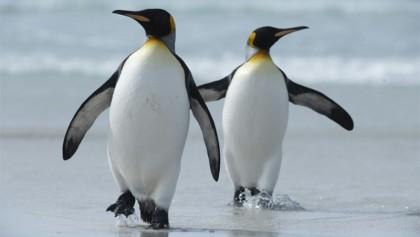Falklands banking on king penguins to drive nature tourism