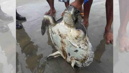 Turtles keep washing up on Cox's Bazar beach