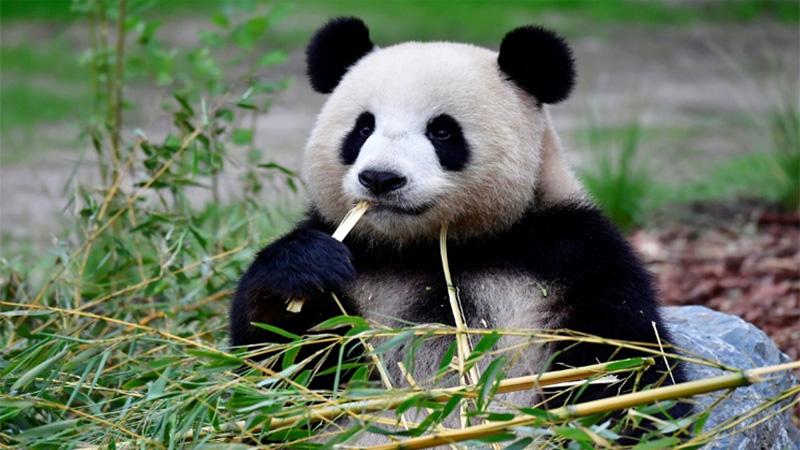 Berlin zoo delights in rare birth of panda twins