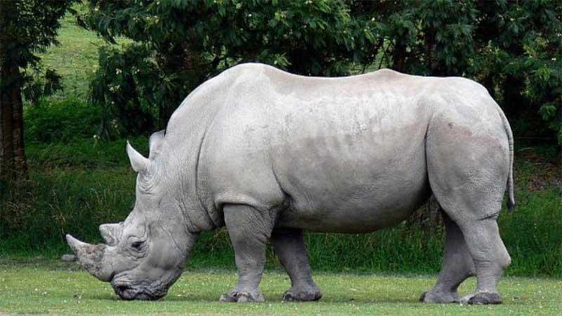 Scientists successfully transfer 1st test tube rhino embryo