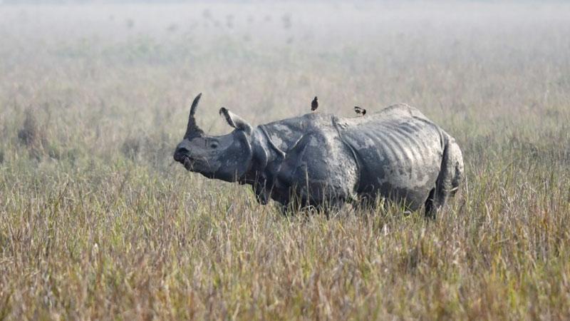 Rhino poaching attempts increase amid India coronavirus lockdown