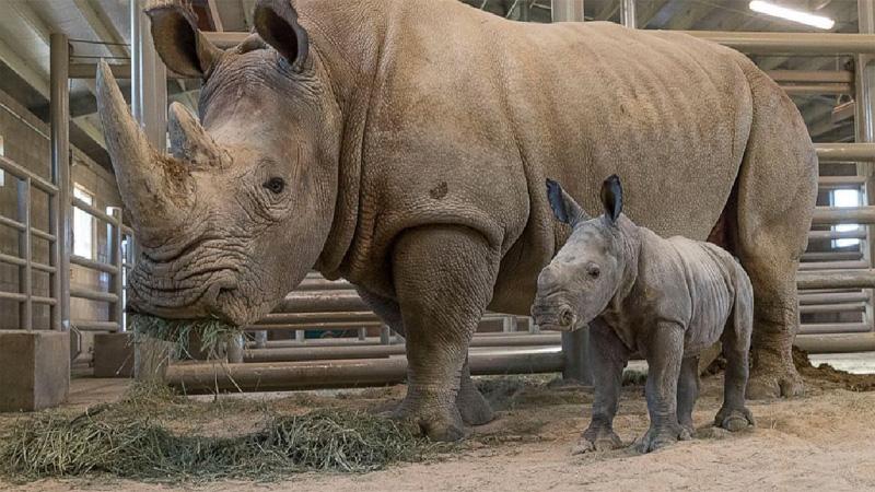 San Diego zoo announces birth of white rhino