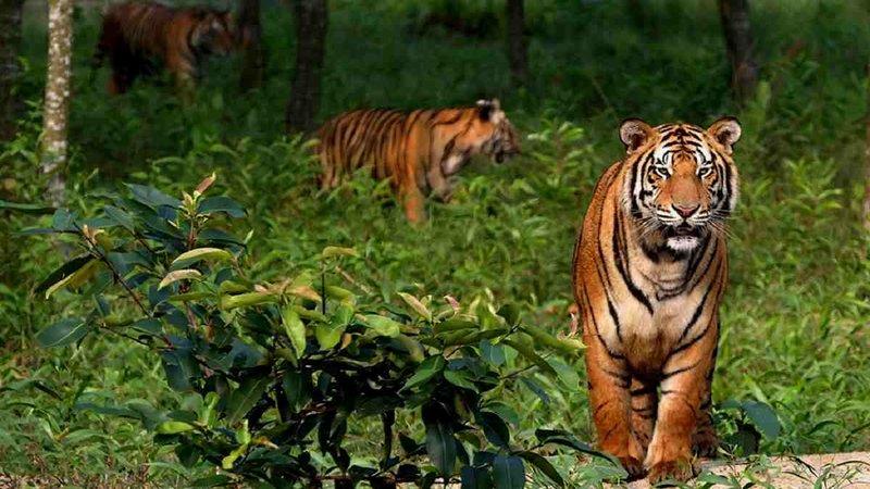 Tiger population at risk in Sundarbans
