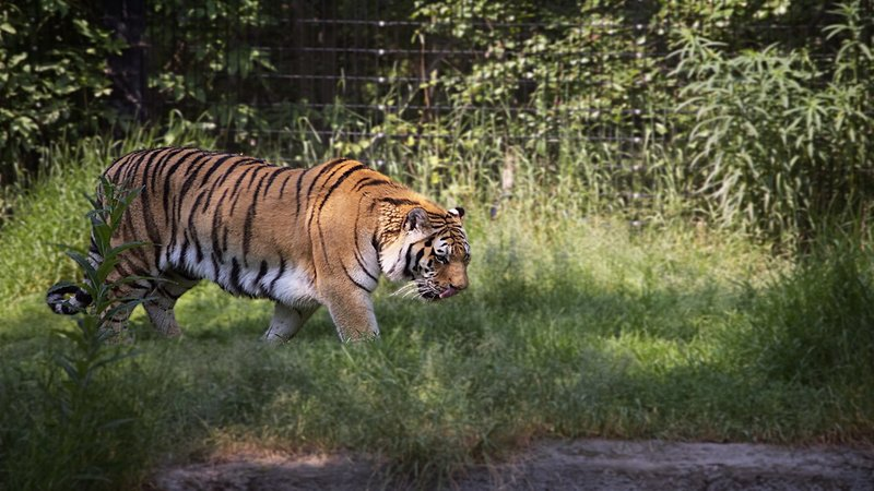 Tiger Tests Positive For Coronavirus At US Zoo