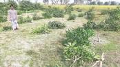 63-bigha orchard flattened overnight
