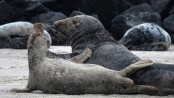 Historic German island is nursery for North Sea seals
