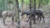 Bangladesh's only female Nilgai dies at Park
