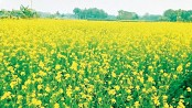 Mustard, a 'yellow gold' for Benapole farmers