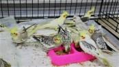 8 Cockatiels seized in Benapole