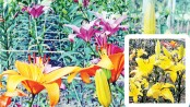 Lilium blooms in country as Bari effort finds success
