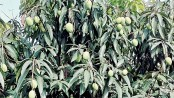 Mango production likely to exceed target in Rajshahi