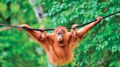 Pet orangutans released back into the wild