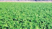 Mustard production target over 1.04 lakh tonne