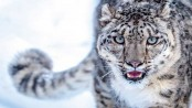 Rare Snow Leopard spotted in Himachal