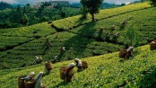 Tea export fetched Tk 36 cr in last fiscal: Tofail