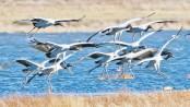 Black-necked cranes wintering in Yunnan's Dashanbao hits record high