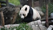 US-born giant panda Bei Bei departs for new life in China